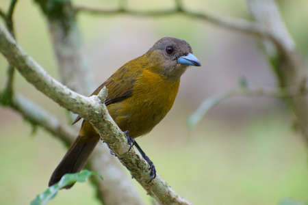 Portrait of Female Passerinis Tanager (Ramphocelus passerini) perched on branch