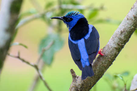 Portrait of Male Red-legged Honeycreeper (Cyanerpes cyaneus) perched on branch