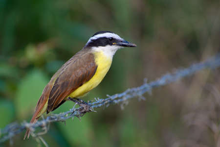 Portrait of Great Kiskadee (Pitangus sulphuratus) perched on fence wire