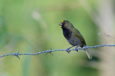 Portrait of Yellow-faced Grassquit (Tiaris olivaceus) perched on fence wire