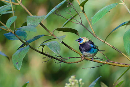 Portrait of Golden-hooded Tanager (Tangara larvata) perched on branch