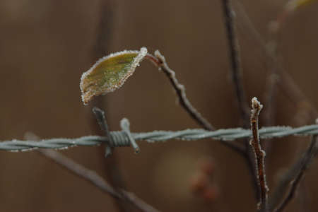 tenacity: Branch with Frost and Barbed Wire