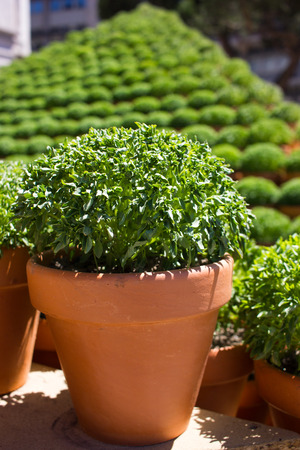 Potted basil plants traditionally given as gifts or used to decorate the home in Porto, Portugal to celebrate the feast day of Saint John (Festa de Sao Joao do Porto). Midsummer, June. Stock fotó