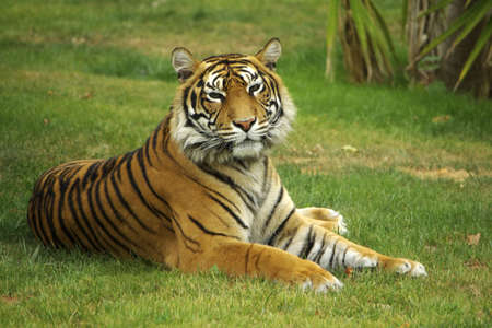 Wild tiger laying down on a green grass field. photo