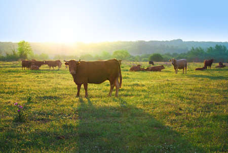 greenfield: Herd of cows in a farmland pasturing at sunset light.