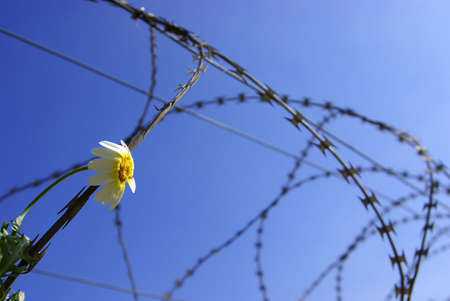 Barbed wire with a stuck single flower against blue sky. photo