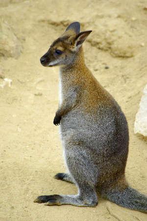 roo: Sharp vertical portrait of a single standing kangaroo. Stock Photo