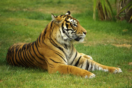 eyes looking down: Wild tiger laying down on a green grass field. Stock Photo