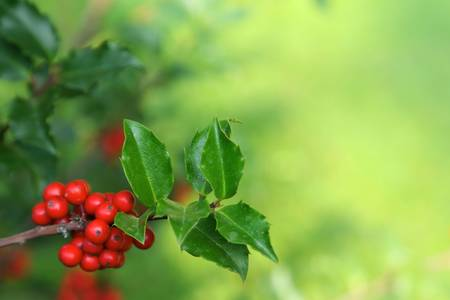 Photo of holly branch detail with copyspace Stock Photo
