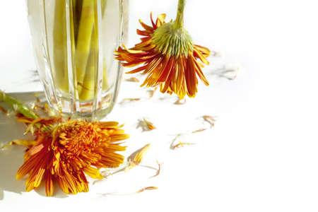 dead flowers: Two dead flowers fallen from crystal jar on white background.