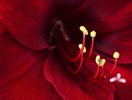 valentines day mother s: Macro photo of a red lily detail. Stock Photo