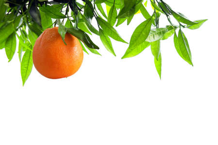 leave: Orange-tree branch with one orange isolated in white