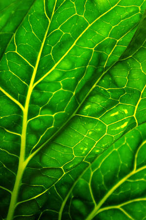 Close-up of a cabbage leaf back lit by the sun Stock Photo - 2885407