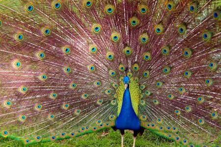 plummage: Foto de un pavo real con su colorida cola totalmente abierto
