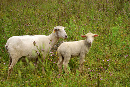 Photo of two white sheep on fresh green field Stock Photo - 3146947