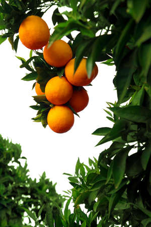 Orange-tree branch with juicy oranges over white background