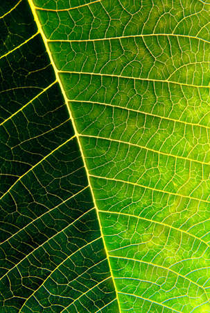 Macro photo of a green leaf with sunlight from behind. Stock Photo
