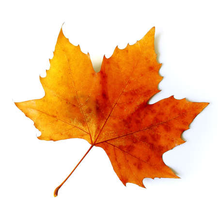 Beautiful golden Fall leaf isolated in white photo