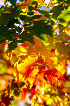 contryside: Nature background of bright and colorful Fall leafs