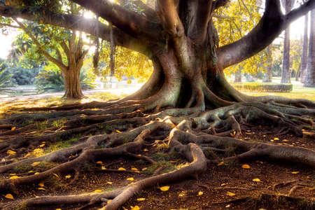 raices de plantas: Centenario con un gran �rbol de tronco grande y ra�ces por encima del suelo Foto de archivo