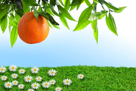 Orange-tree branch with one orange over grass field with flowers Stock Photo