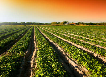 garden bean: Cultivated land in a rural landscape at sunset Stock Photo