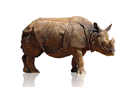 rhinoceros: Big and heavy rhinoceros isolated in white background