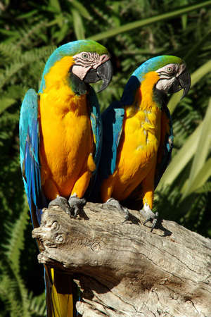 A couple of beautiful blue and yellow macaw parrots - ara ararauna