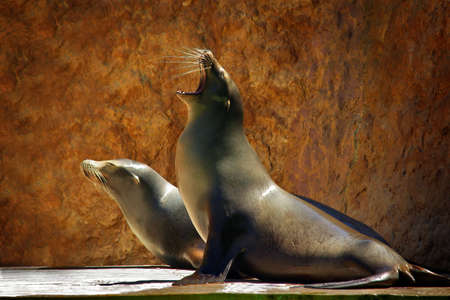 Two Sea Lions in a zoo show against a rocky background photo