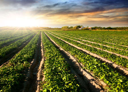 soybean: Cultivated land in a rural landscape at sunset Stock Photo
