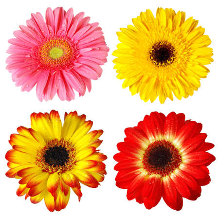 Four colorful gerber flowers isolated in white background photo