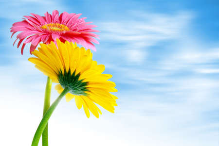 Two colorful gerbera flowers against a soft cloudy blue sky photo