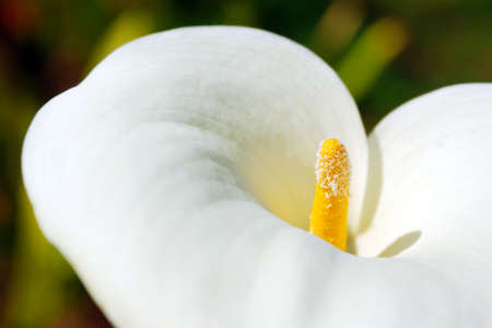 White calla flower detail with elegant curves over blurred backgroud photo