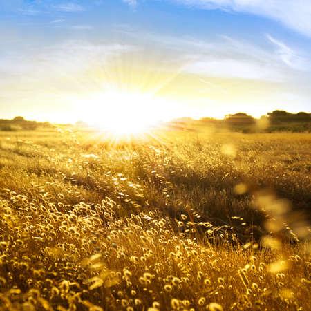 haver veld: Close-up foto van achter verlichte wilde pieken bij zons ondergang licht  Stockfoto
