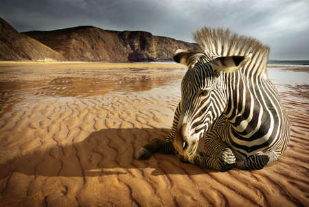 Surreal scene of a sitting zebra in an empty beach  Stock Photo