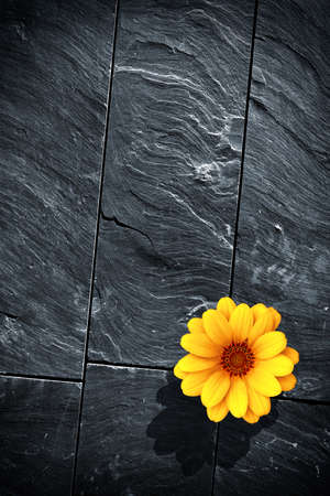 Fraction of a black schist wall with with a single yellow flower photo