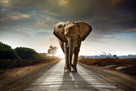 elefante: Elefante solo caminando en una carretera con el sol por detrás