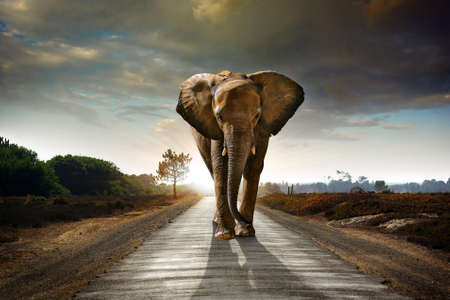 dangerous road: Single elephant walking in a road with the Sun from behind Stock Photo