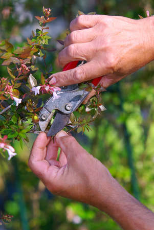 Close up of a mens hands with shears pruning the bushes Stock Photo - 7784884