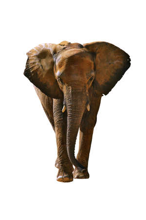 elephant angry: Africa elephant isolated in white background