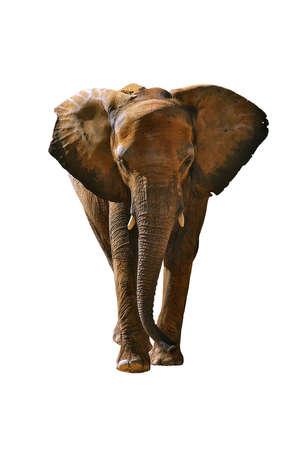 elephant angry: Africa elephant isolated in white background