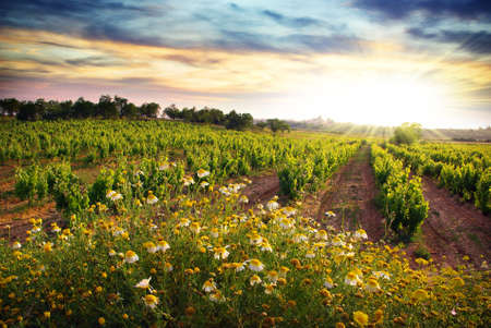 barren land: Landscape of countryside with a vineyard and flowers at sunset