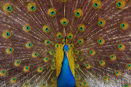 pavo: Shot of a peacock with its colorful tail fully opened