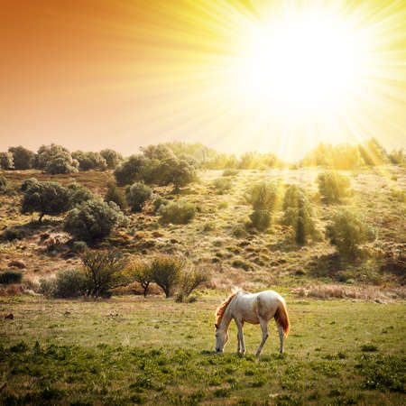 mustang horse: White horse pasturing in a rural landscape under warm sunlight