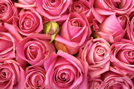 Background of a bed of beautiful pink roses photo