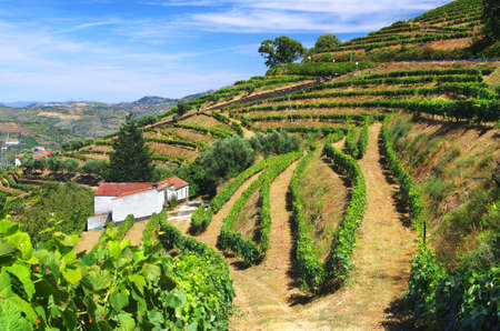 portugal agriculture: Beautiful rural landscape with bright green vine cultures in the Douro region, Portugal