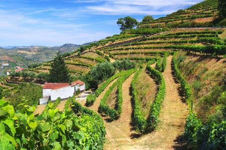 Piękna krajobrazu wiejskiego z jasnymi zielonymi kultur winorośli w regionie Douro w Portugalii