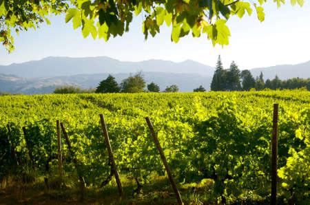 vi�edo: Bello paisaje rural con cultivos de vid verde brillante en la regi�n del Douro, Portugal