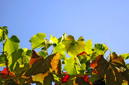 Bright green and red vine leaves agains a blue sky Stock Photo - 10360838