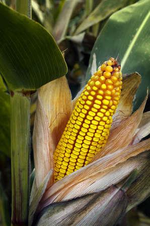 corn stalks: Close-up of a peeled corn cob in a corn field